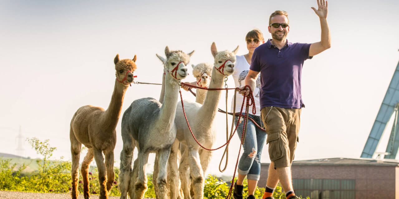Alpaka Trekking in Castrop Rauxel: Daniels kleine Farm begeistert uns!
